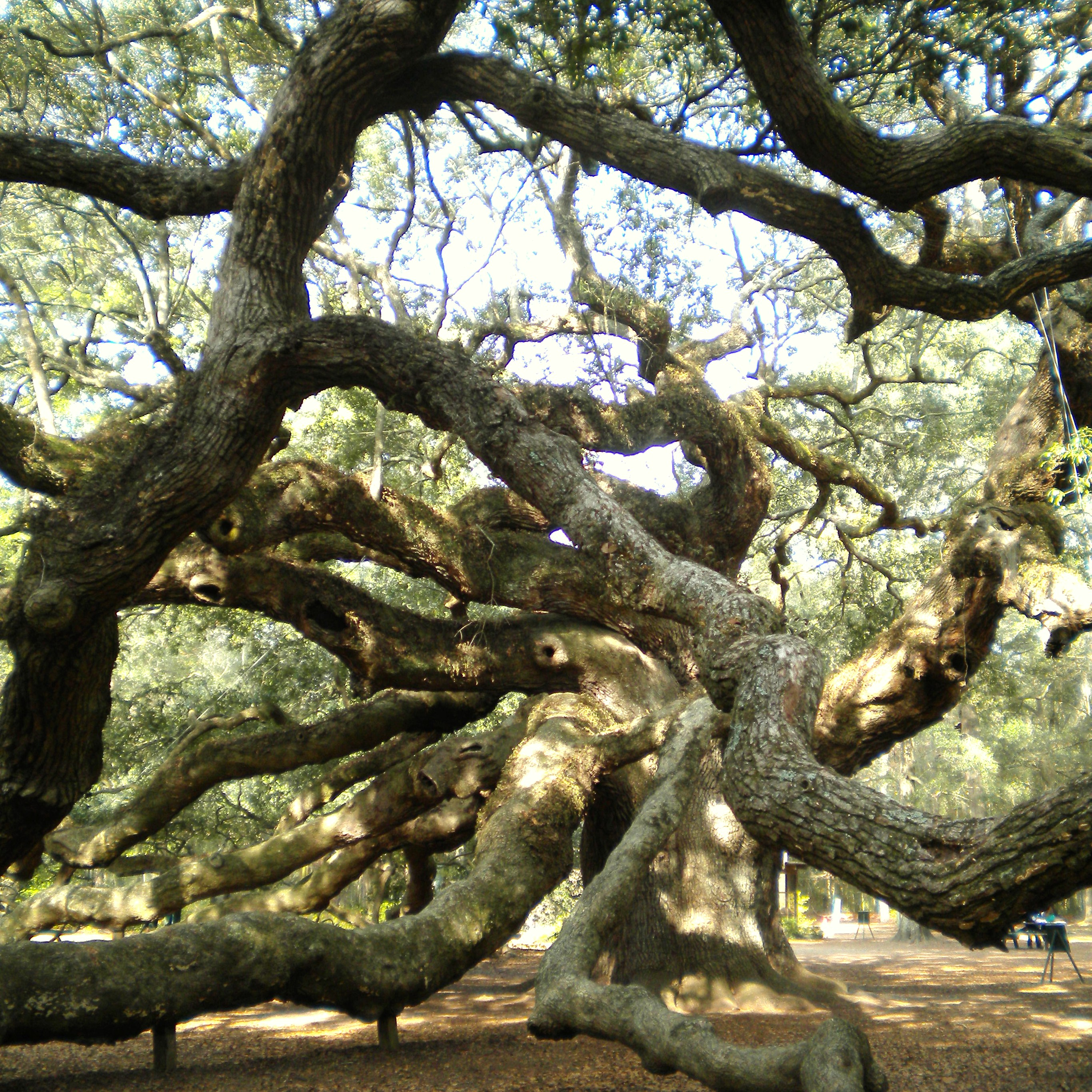 The Angel Oak Tree – Katie Jane Interiors