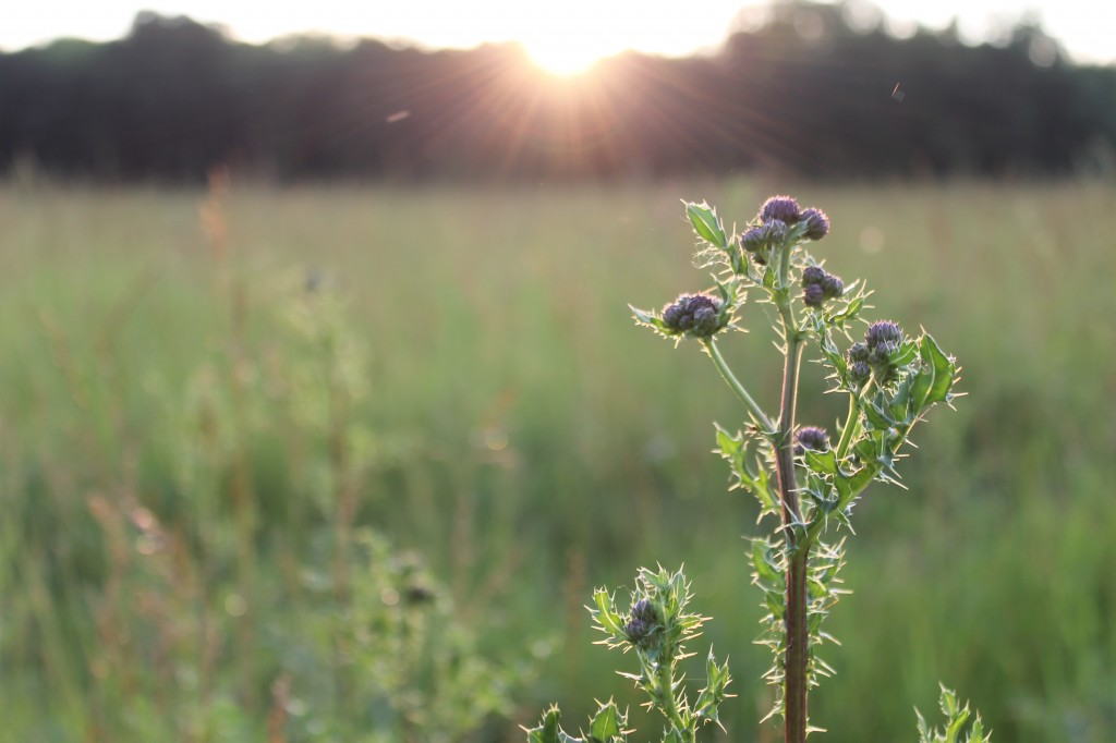 thistle at dusk