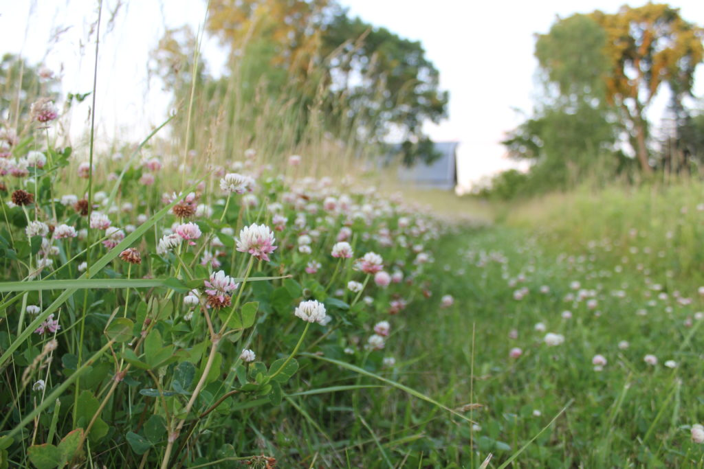 30 days of june2016 clover in the field
