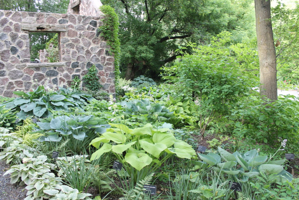liberty hostas with stone wall at GB botanical garden15
