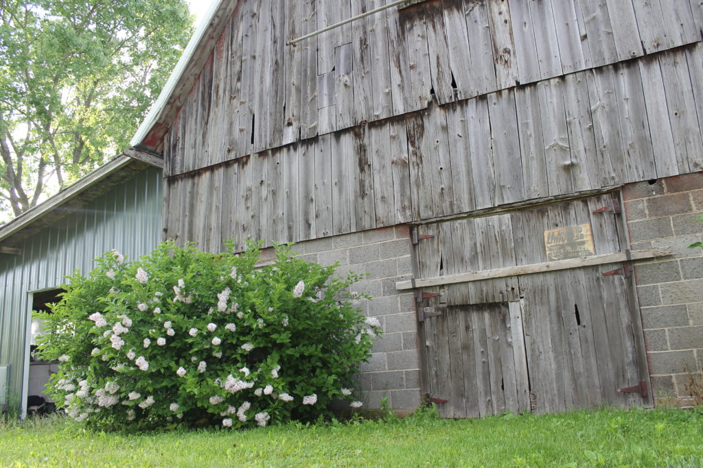lilacs in front of barn2016
